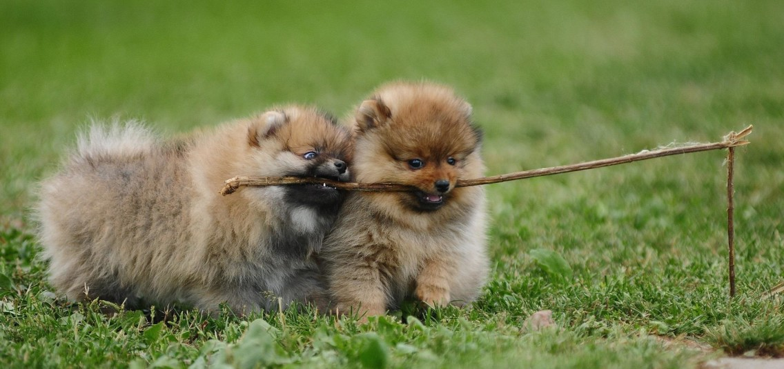 http://www.lefatedeglianimali.it/wp-content/uploads/2015/10/amazing-pomeranian-dogs-high-resolution-wallpaper-for-desktop-background-download-dog-pictures-free-1136x535.jpg